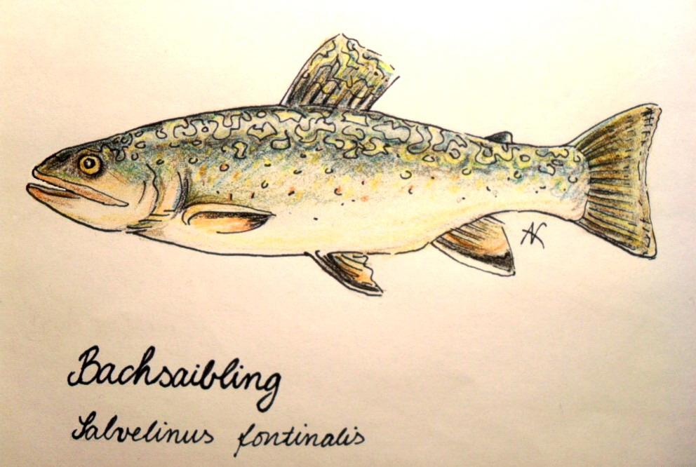 Bachsaibling1.jpg